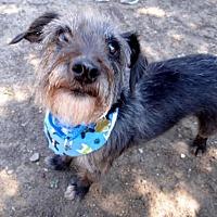 Adopt A Pet :: Bodie - Seal Beach, CA