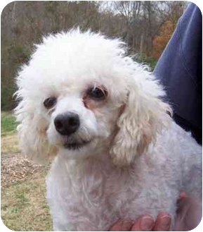 Poodle (Toy or Tea Cup) Dog for adoption in Fanwood, New Jersey - Cindy