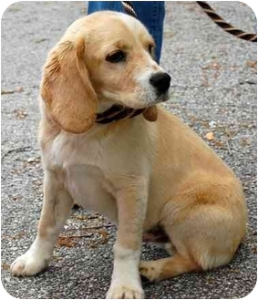 Beagle/Spaniel (Unknown Type) Mix Puppy for adoption in Inman, South Carolina - Terrance