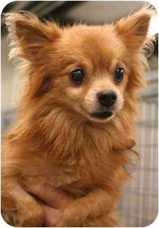 Pomeranian Mix Dog for adoption in Phoenix, Oregon - Abner
