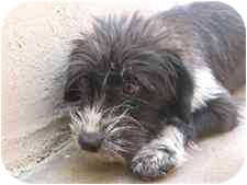 Terrier (Unknown Type, Small) Mix Dog for adoption in Bowie, Maryland - Lilly