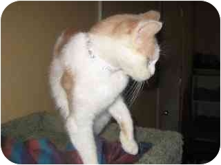 Domestic Shorthair Cat for adoption in Libby, Montana - Andy