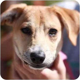 Chihuahua/Shiba Inu Mix Puppy for adoption in Berkeley, California - Yahtzee