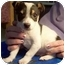 Photo 1 - Jack Russell Terrier/Rat Terrier Mix Puppy for adoption in North Judson, Indiana - Beau