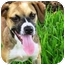 Photo 1 - Pug Mix Dog for adoption in Sugar Land, Texas - Sweet Pea