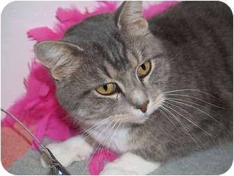Domestic Shorthair Cat for adoption in Columbus, Nebraska - Hanna