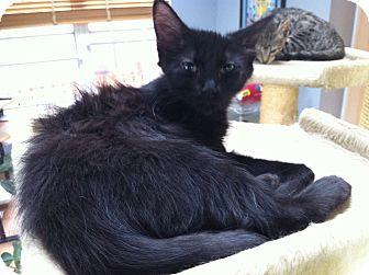 Domestic Longhair Kitten for adoption in St. Louis, Missouri - Inky