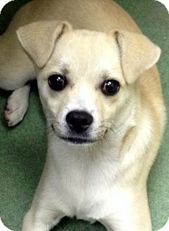Pug/Beagle Mix Puppy for adoption in Los Angeles, California - Oscar *VIDEO*