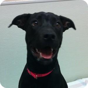 Labrador Retriever Mix Puppy for adoption in Gilbert, Arizona - Sammy