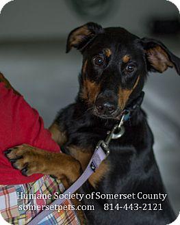 Doberman Pinscher/Cattle Dog Mix Dog for adoption in Somerset, Pennsylvania - Xander