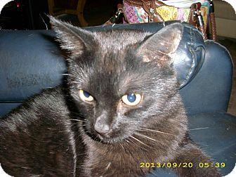 Domestic Shorthair Cat for adoption in Brea, California - PICKLES