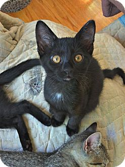 Domestic Shorthair Kitten for adoption in St. Louis, Missouri - Francesca