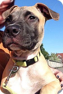 Great Dane Mix Puppy for adoption in Oak Creek, Wisconsin - Riley
