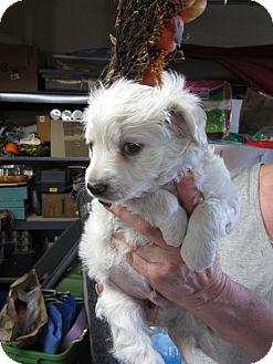 Spaniel (Unknown Type)/Papillon Mix Puppy for adoption in Bellingham, Washington - Vinnie