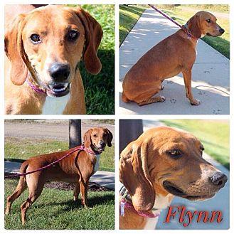 Labrador Retriever/Beagle Mix Dog for adoption in Garden City, Michigan - Flynn