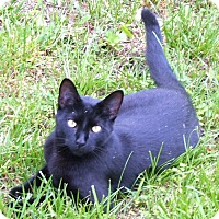 Domestic Shorthair Cat for adoption in Rocky Hill, Connecticut - Baloo