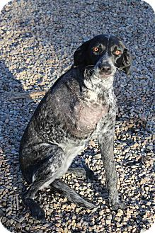 German Shorthaired Pointer Mix Puppy for adoption in Westminster, Colorado - Impala