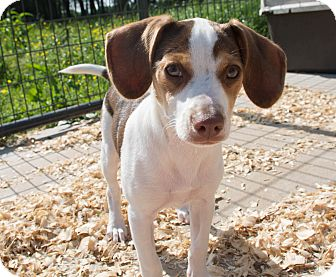 Beagle/Jack Russell Terrier Mix Puppy for adoption in Seneca, South Carolina - Poncho $250
