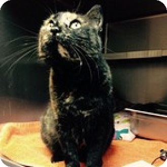 Domestic Shorthair Cat for adoption in Wheaton, Illinois - Madeline