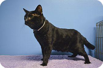 British Shorthair Cat for adoption in Montclair, California - Jag