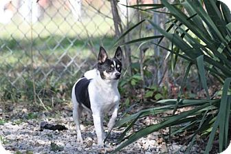 Chihuahua Dog for adoption in Newburgh, Indiana - Gizmo-Sweet !