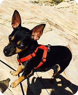 Chihuahua Mix Dog for adoption in Las Vegas, Nevada - Maximus