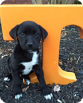 Labrador Retriever Mix Puppy for adoption in Hagerstown, Maryland - Dobbs