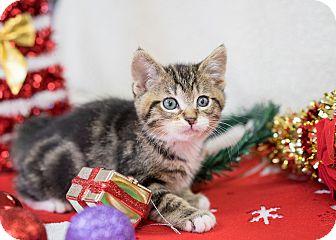 Domestic Shorthair Kitten for adoption in Montclair, California - Chucky