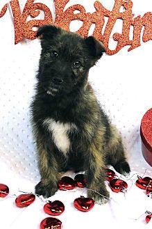 Miniature Schnauzer/Terrier (Unknown Type, Medium) Mix Puppy for adoption in Westminster, Colorado - Nadira