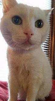 Domestic Shorthair Cat for adoption in Grand Blanc, Michigan - Louie