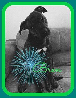 American Bulldog Mix Dog for adoption in Friendswood, Texas - Bren