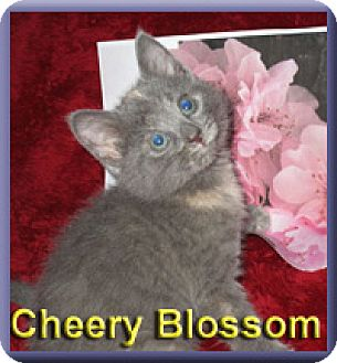 Domestic Shorthair Kitten for adoption in Aldie, Virginia - Cheery Blossom