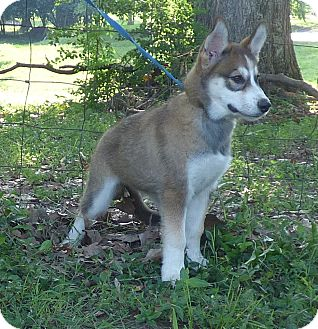 Siberian Husky Puppy for adoption in Bedminster, New Jersey - Java
