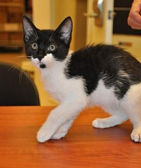 Domestic Shorthair/Domestic Shorthair Mix Cat for adoption in Pompano Beach, Florida - 27972537