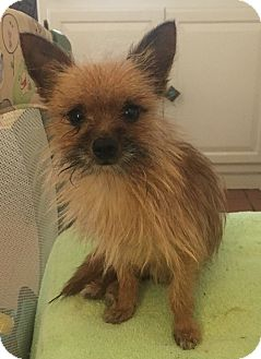 Yorkie, Yorkshire Terrier/Terrier (Unknown Type, Small) Mix Dog for adoption in Hazard, Kentucky - Tiny