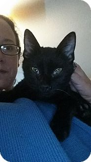 Domestic Shorthair Kitten for adoption in Levelland, Texas - Black Diamond