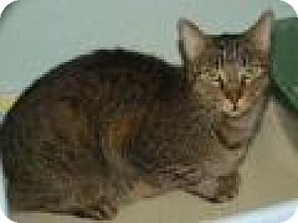Domestic Shorthair Cat for adoption in Englewood, Florida - Sassy