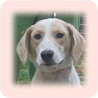 Golden Retriever/Labrador Retriever Mix Dog for adoption in Huntley, Illinois - Amelia