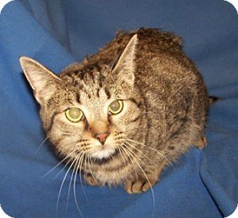 Domestic Shorthair Cat for adoption in Colorado Springs, Colorado - Sahara