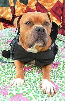 Mastiff Mix Dog for adoption in Carmel, New York - Rex