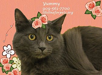 Domestic Mediumhair Cat for adoption in Monrovia, California - A Young Female: YUMMY