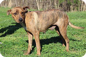 Catahoula Leopard Dog Mix Dog for adoption in Waldorf, Maryland - Lillie