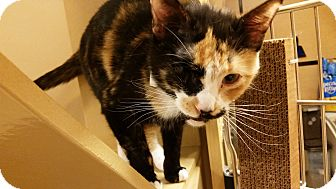 Domestic Shorthair Cat for adoption in East Hartford, Connecticut - Alice (in CT)