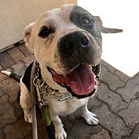 American Bulldog/Boxer Mix Dog for adoption in San Juan Capistrano, California - Simon