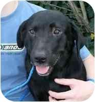 Labrador Retriever Mix Dog for adoption in kennebunkport, Maine - Darla-UPDATE 3/5