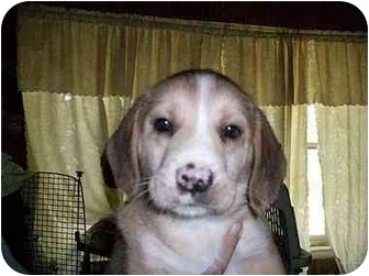 Beagle Mix Puppy for adoption in Ventnor City, New Jersey - PADDLES