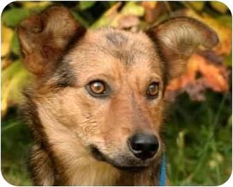 Shepherd (Unknown Type)/Terrier (Unknown Type, Medium) Mix Dog for adoption in Millstone, New Jersey - Shep