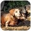 Photo 2 - Dachshund Dog for adoption in Killingworth, Connecticut - Frank