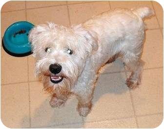 Schnauzer (Miniature) Dog for adoption in Newburgh, Indiana - Max