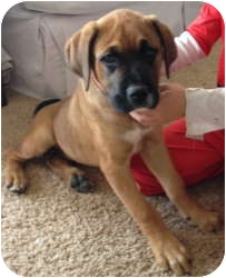 Boxer Mix Puppy for adoption in Calumet City, Illinois - Enzo